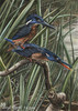Herkuleseisvogel - Blyth´s Kingfisher - Alcedo Hercules - alcedo blyth´s buntstifte eisvogel eisvögel hercules herkuleseisvogel kingfisher paarung polychromos