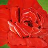 Flora, Blumen, Rose, Blüte