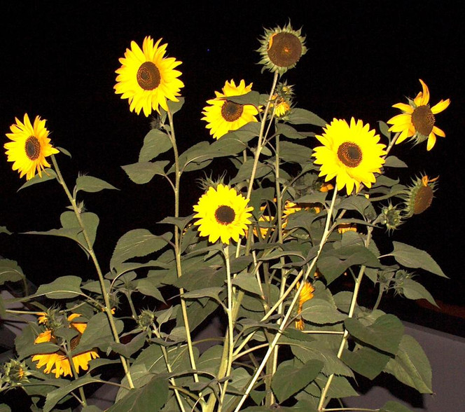 bild nacht sonnenblumen fotografie pflanzen von carsten m blumenr ther bei kunstnet. Black Bedroom Furniture Sets. Home Design Ideas