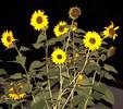 Nacht, Sonnenblumen, Fotografie, Pflanzen