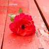 Rose, Verwelken, Traurig, Fotografie