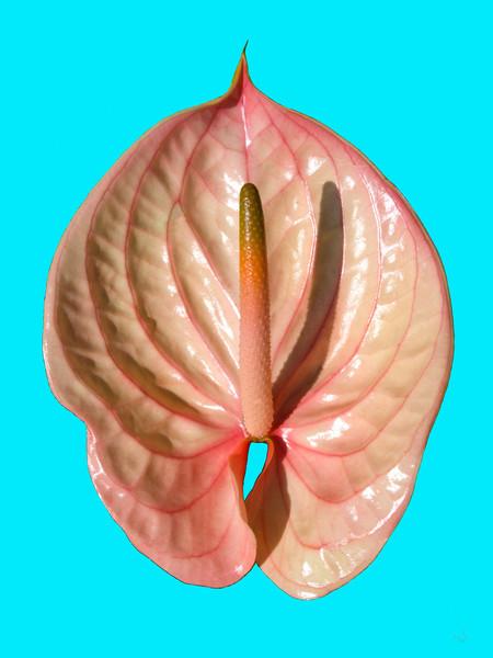 Flamingoblume, Blüte, Natur, Pflanzen, Fotografie, Stillleben