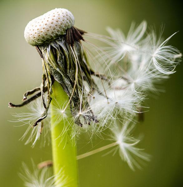 Samen, Wind, Frühling, Makro, Löwenzahn, Fotografie