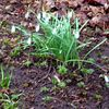 Starke pflanze, Giersch, Salat, Fotografie