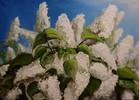 Weiß, Blumen, Flieder, Malerei