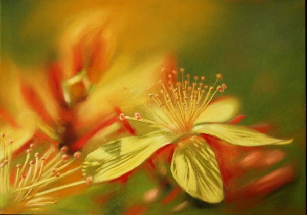 Blüte, Pastellmalerei, Blumen, Sommer, Johanniskraut, Gelb