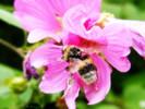 Tiere, Blumen, Hummel, Biene