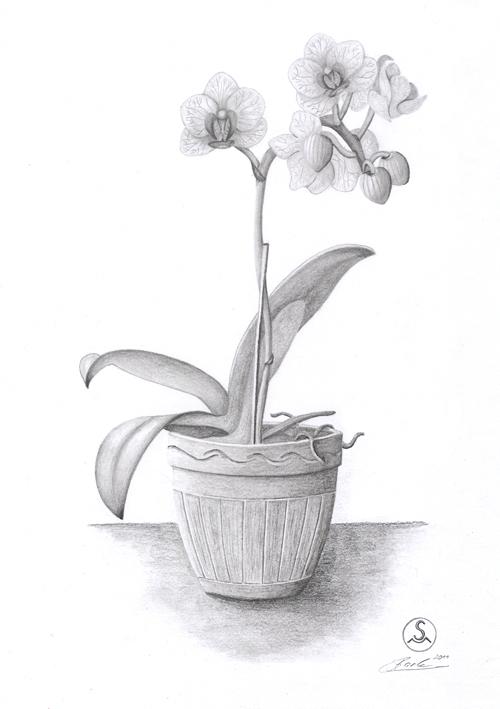 orchidee orchidee pflanzen zeichnungen stillleben von marcel stach bei kunstnet. Black Bedroom Furniture Sets. Home Design Ideas