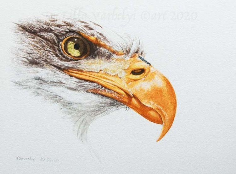 Zeichnung, Tierwelt, Seekopfadler, Tuschmalerei, Vogel, Adler