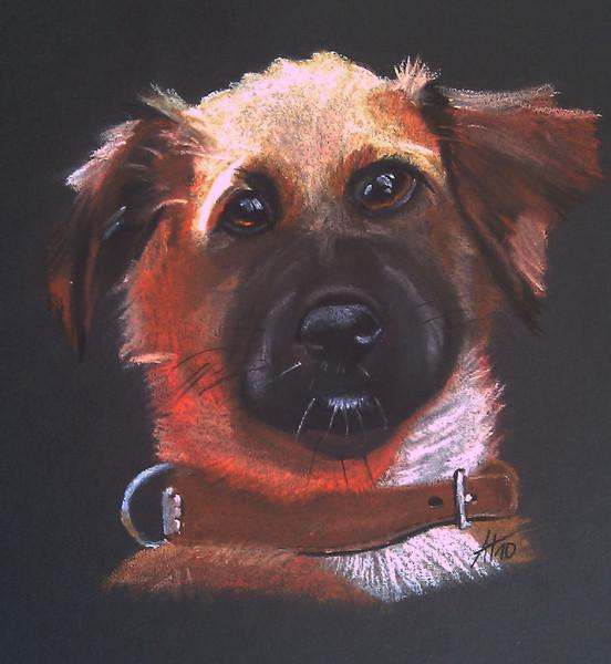 Hund, Hundekopf, Pastellmalerei, Zeichnungen, Amy