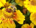 Blumen, Biene, Fotografie, Pflanzen