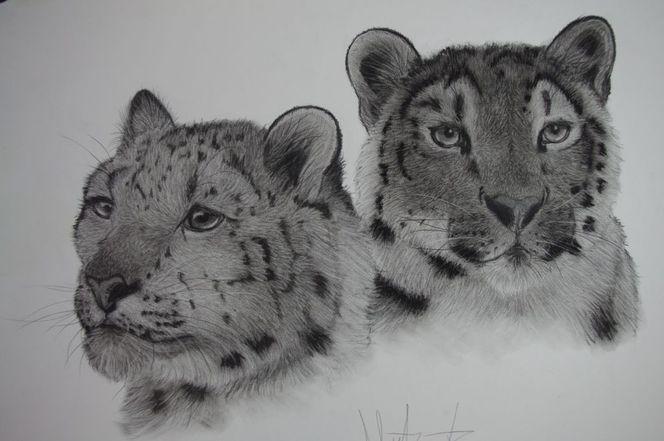 Schneeleoparden, Katze, Kohlezeichnung, Sibirien, Leopard, Schnee