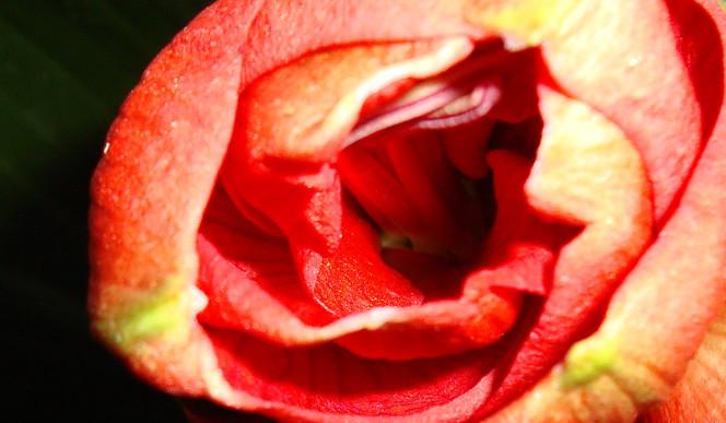 Rot, Rosa, Wundervoll, Feurig, Fotografie