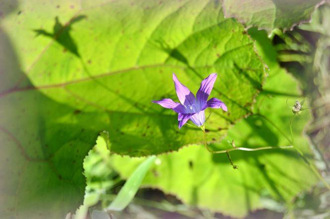 Blüte, Fragil, Lila, Natur, Rose, Glockenblume