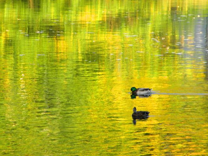 Fluss, Kunstfotografie, Ente, Halle, Herbst, Saale