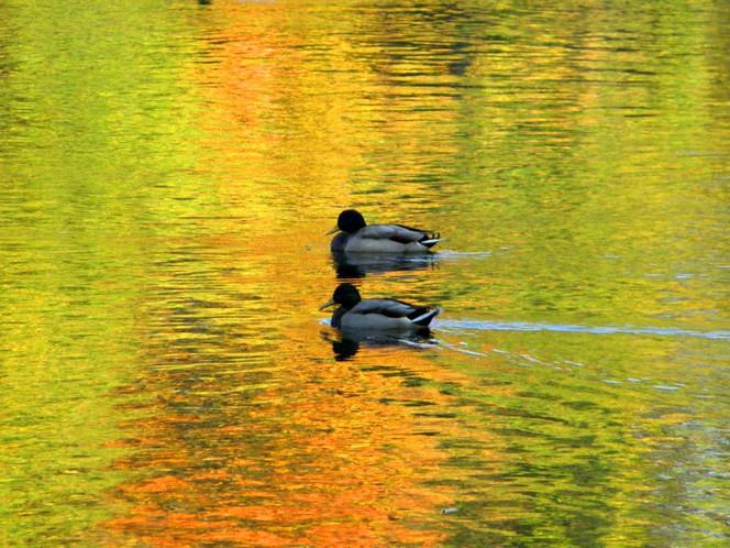 Herbst, Saale, Fotografie, Fluss, Kunstfotografie, Ente