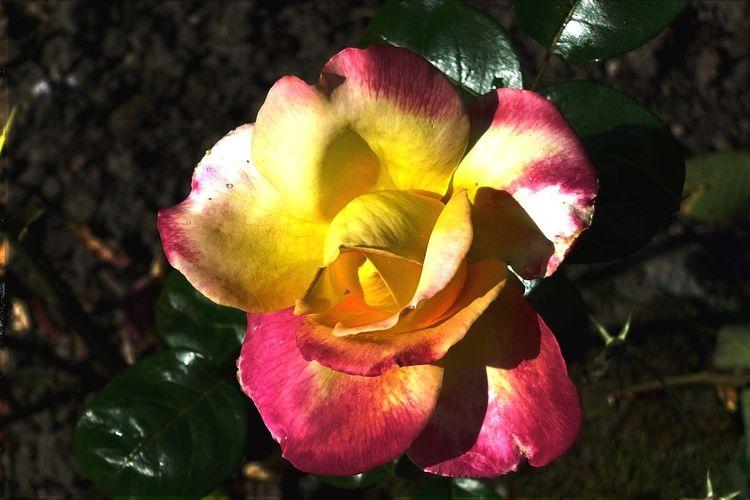 Schatten, Rose, Blüte, Herbst, Hdr, Licht