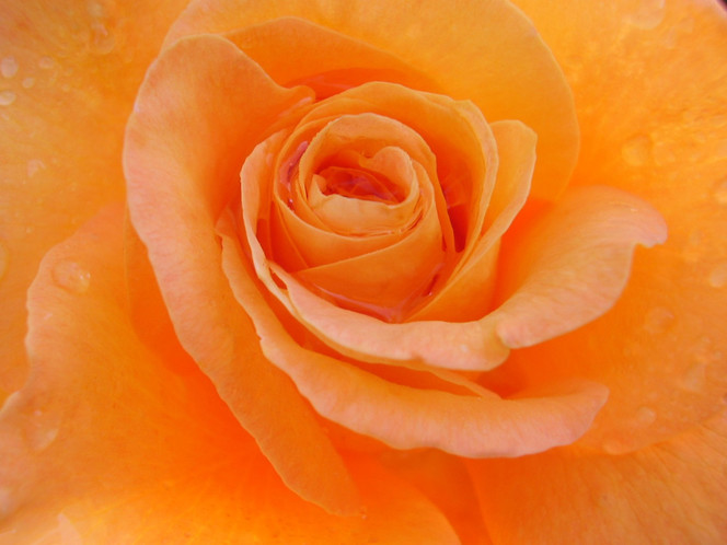 Blumen, Rose, Tautropfen, Natur, Makro, Fotografie