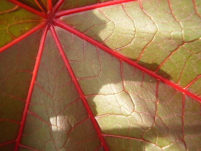 Pflanzen, Rizinus, Blätter, Natur, Makro, Fotografie