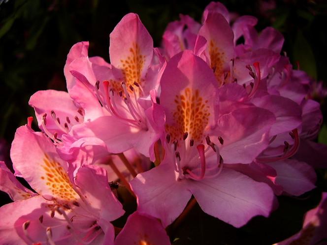 Strauch, Blüte, Natur, Rosa, Pflanzen, Makro
