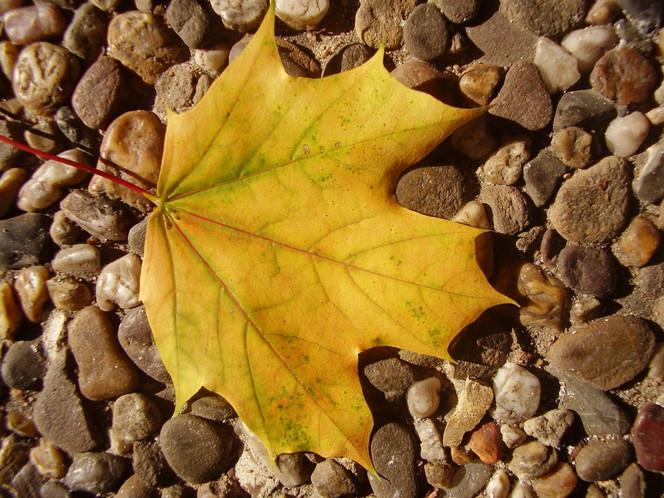Blätter, Gelb, Natur, Laub, Herbst, Fotografie