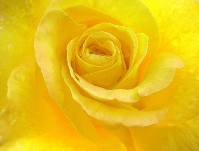 Blüte, Natur, Rose, Pflanzen, Gelb, Blumen