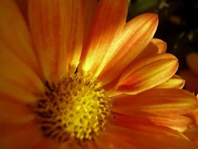 Natur, Nahaufnahme, Blumen, Blüte, Aster, Malerei