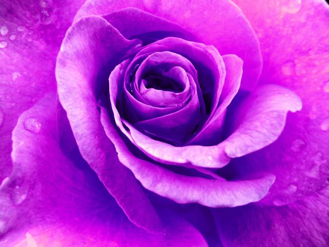 Makro, Lila rose, Natur, Blumen, Rose, Fotografie