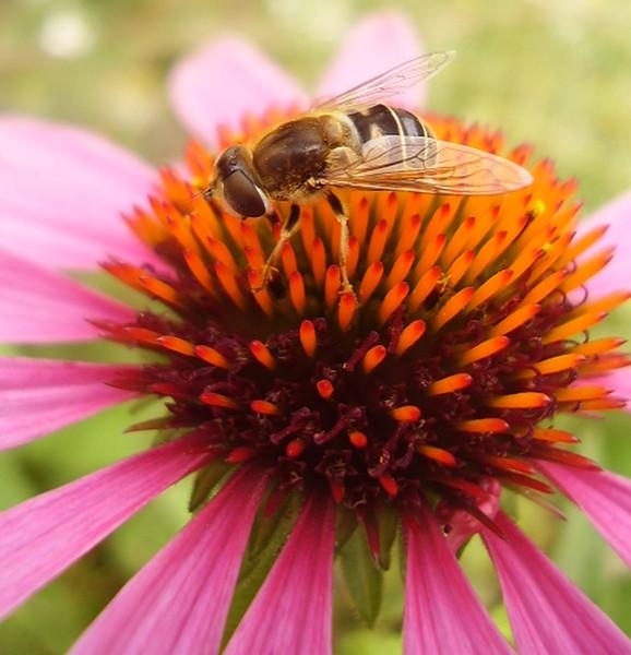 Makro, Insekten, Biene, Blumen, Blüte, Natur