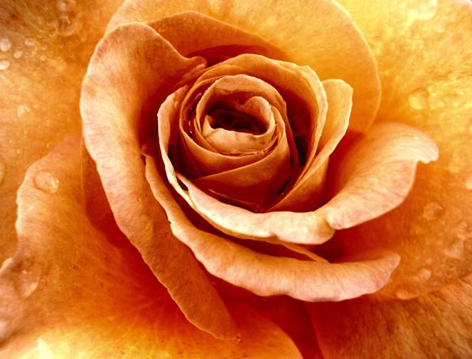 Natur, Blumen, Rose, Makro, Fotografie, Orange