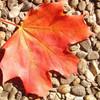 Laub, Baum, Rot, Blätter