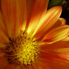 Blumen, Blüte, Aster, Nahaufnahme