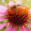 Insekten, Makro, Biene, Blumen
