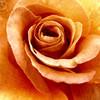 Natur, Blumen, Rose, Makro