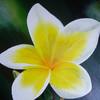 Blüte, Gelb, Magnolien, Weiß