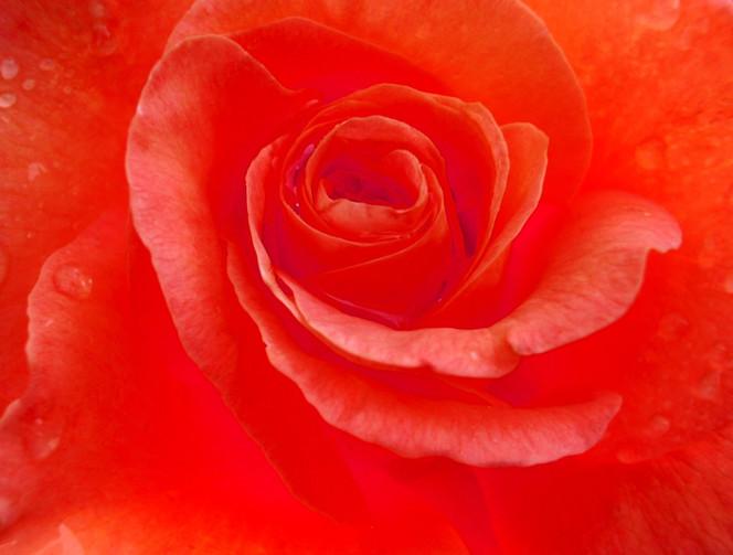 Natur, Blumen, Rose, Makro, Fotografie