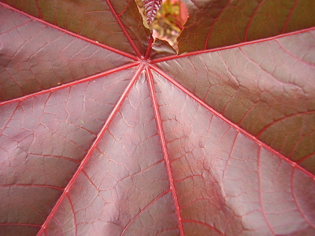 Rizinus, Blätter, Natur, Makro, Pflanzen, Fotografie