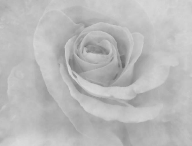 Rose, Makro, Natur, Blumen, Fotografie