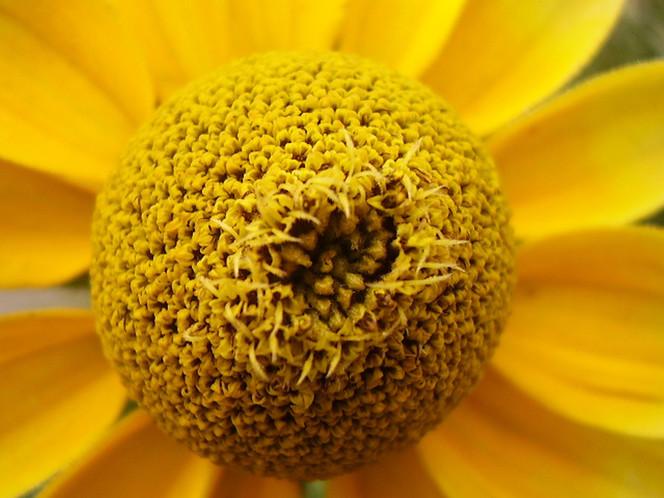 Nahaufnahme, Natur, Blumen, Blüte, Blütenstaub, Fotografie