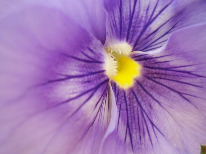 Natur, Viola tricolor, Stiefmütterchen, Blüte, Lila, Blumen