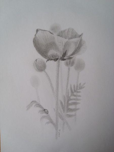 Blüte, Blumen, Mohn, Bleistiftzeichnung, Käfer, Zeichnungen