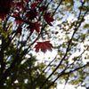 Natur, Baum, Blutahorn, Blätter