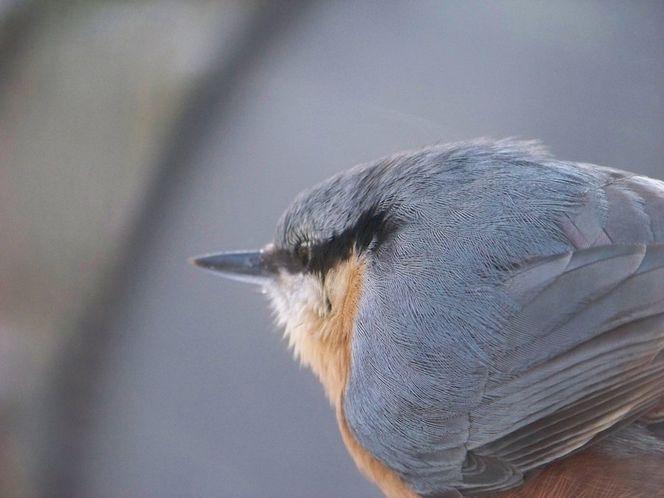 Winter, Kleiber, Makro, Vogel, Tierwelt