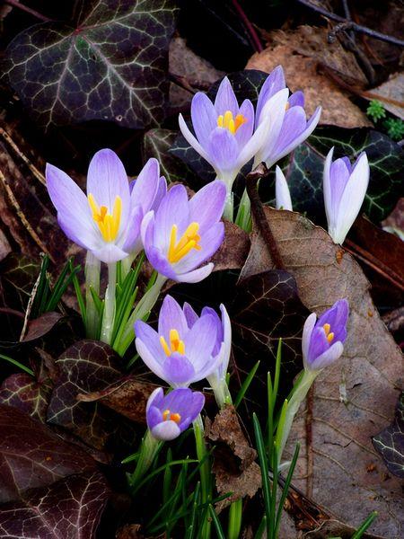 Fruhlingsgruss In Lila Fruhling Fruhbluher Blumen Krokus Von
