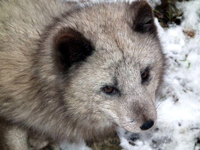 Polarfuchs, Fuchs, Winter, Pelz, Tierwelt