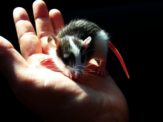 Ratte, Nagetier, Hand, Tiere, Tierwelt, Husky