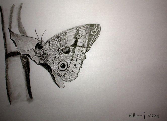 Schmetterling, Zeichenkarton, Bleistiftzeichnung, Zeichnungen