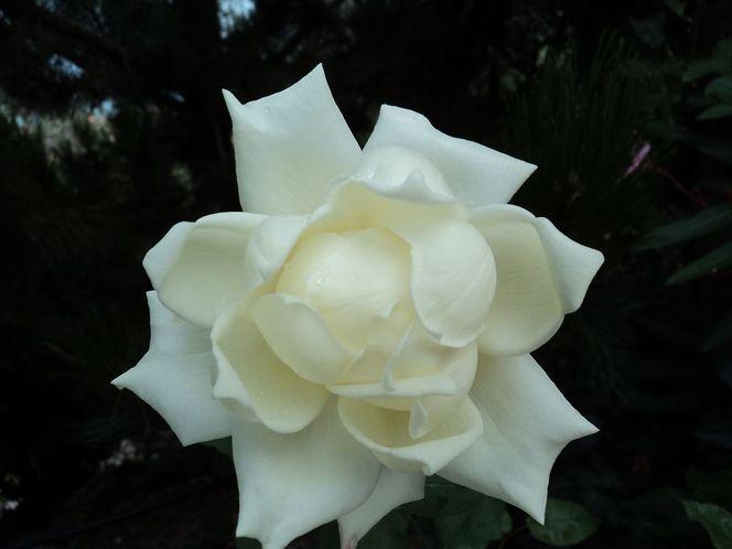 Blumen, Weiß, Blüte, Fotografie, Stillleben