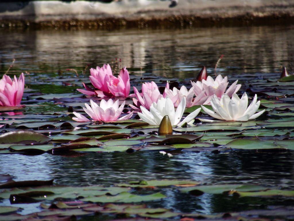 Seerosenteich Teich Wasser Park Fotografie Seerosenteich Von
