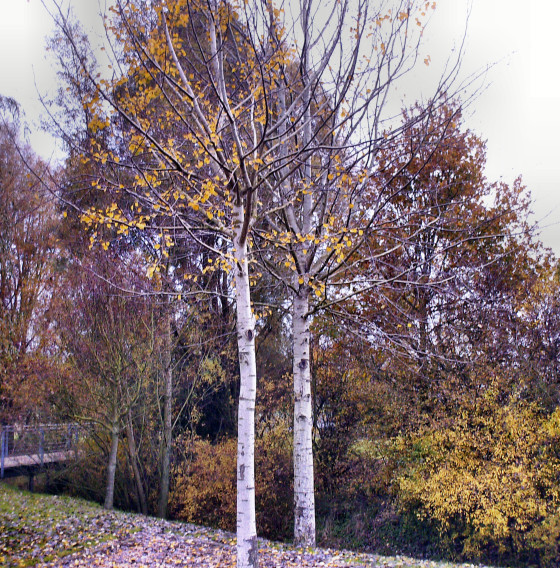 Landschaft, Birken, Fotografie, Stehen